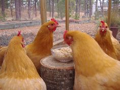 Great site for what to feed your chickens and what it does for them.
