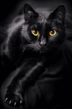 The black cat: stories, legends and superstitions of the most beautiful . - The black cat: stories, legends and superstitions of the most beautiful … – cars – - I Love Cats, Crazy Cats, Cool Cats, Image Chat, Photo Chat, Domestic Cat, Cat Design, Beautiful Cats, Gorgeous Eyes