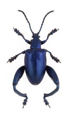 Sagra femorata - Blue, Blue Leaf Beetle
