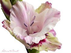 Blumenbild: Stolz und Stärke einer Gladiole.  Leinwandbild, Fototapete oder gerahmter Kunstdruck