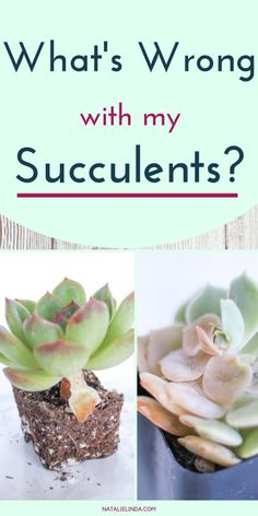 with My Succulent? Learn to Diagnose and Resolve Common Succulent Problems What's Wrong with My Succulent? Learn to Diagnose and Resolve Common Succulent Problems What's Wrong with My Succulent? Learn to Diagnose and Resolve Common Succulent Problems Crassula Succulent, Propagating Succulents, Growing Succulents, Succulent Care, Succulent Gardening, Cacti And Succulents, Planting Succulents, Garden Plants, Container Gardening