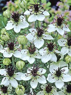 Nigella 'Chocolate Sundae' 30-36 inch height perfect for vases. Cooksgarden.com