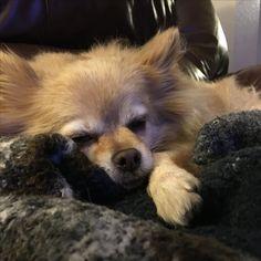 Benjie our #pomchi Crazy Dog, Dogs, Animals, Animaux, Doggies, Animal, Animales, Pet Dogs, Dog
