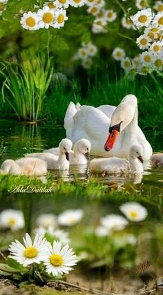 Swan image photo montage 4 images blend to create a single art image A selection of bird photos Pretty Birds, Beautiful Birds, Animals Beautiful, Beautiful Nature Pictures, Beautiful Nature Wallpaper, Cute Baby Animals, Animals And Pets, Funny Animals, Relaxing Rain Sounds