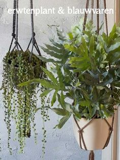 hangplanten erwtenplant en blauwvaren Sweet Home, Plants, Room Ideas, Style, Swag, House Beautiful, Plant, Outfits, Planets