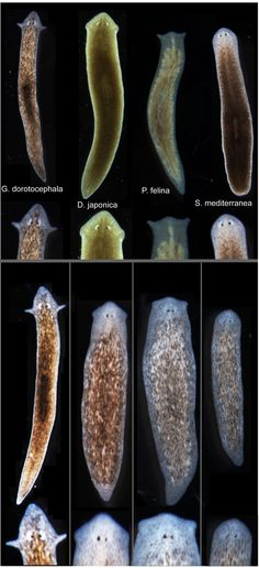 Biologists induce flatworms to grow heads and brains of other species - http://scienceblog.com/479642/biologists-induce-flatworms-to-grow-heads-and-brains-of-other-species/