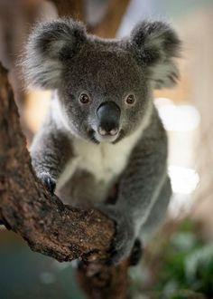 Baby Koala, Koala Bears, Animals Beautiful, Cute Animals, Pet Birds, Australian Animals, David, Random, Board