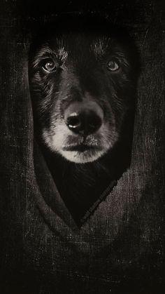 #WolfCub #wolfshadowphotography #belgiansheepdog #groenendael