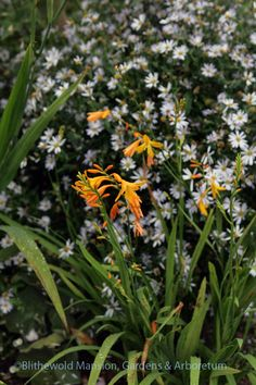Use Kalimeris as a stage for a show stopper like a lily or an iris. Crocosmia 'George Davison' and Kalimeris incisa 'Blue Star' Summer Bulbs, Plants, Crocosmia, Landscape, Flowers, North Garden, Bulb, Lily, Garden