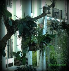 Orchids and Tillandsias hanging in a tree at the Opryland Hotel