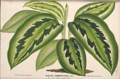41096 Calathea chimboracensis (Linden) Linden / L' Illustration horticole, vol. 17: t. 6 (1870) [P. Stroobant]