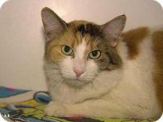 11/23/14 Burbank, CA - Domestic Mediumhair. Meet *ELLA, a cat for adoption. http://www.adoptapet.com/pet/11930312-burbank-california-cat