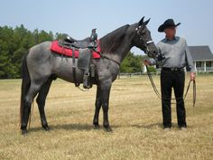 McCurdy Plantation Horse This gaited breed has a history in the Deep South of the United States, on the home of the McCurdy family. Currently, there are only 576 registered, including 45 appendix. They started out closely related to the Tennessee Walking Horse (in fact some McCurdy's are listed in the TWH's foundation books). (www.mccurdyhorses.com)