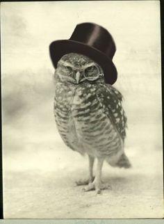 Top hat owl