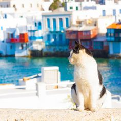 "Cat on Mykonos Island in Greece.  Take a Tour of the ""Cat Islands"" of the World 