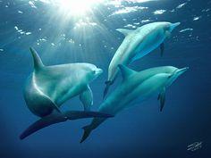 #dolphins of #Tampa Bay by Matthew Schwartz