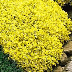 """Improved Golden Sedum ~~~ Excellent for Hot, Dry Sites!    A low-growing dense mat of succulent leaves is carefree once established! Space 12-18"""" apart. Brilliant yellow flowers in late summer. Leaves turn vibrant orange-red in fall"""