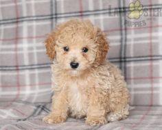 #PoodleMix #Charming #PinterestPuppies #PuppiesOfPinterest #Puppy #Puppies #Pups #Pup #Funloving #Sweet #PuppyLove #Cute #Cuddly #Adorable #ForTheLoveOfADog #MansBestFriend #Animals #Dog #Pet #Pets #ChildrenFriendly #PuppyandChildren #ChildandPuppy #LancasterPuppies www.LancasterPuppies.com Poodle Mix Puppies, Cute Puppies, Mans Best Friend, Best Friends, Lancaster Puppies, Animals Dog, Puppies For Sale, Puppy Love, Teddy Bear