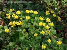 Lesser Celendine: Ranunculus ficaria (Speenkruid) leaves and buds can be treated like spinach, bulbs can be cooked. Buds can be used like capers