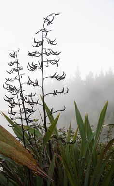I was up with the dawn, tripod in hand and left the motel to wander around the gardens and up to the geothermal power station. The mist is from the numerous hot springs in the area. This is a New Zealand flax plant, a phormium. New Zealand Flax, Flax Plant, Hot Springs, Motel, Tripod, Mists, Wander, Dawn, Gardens