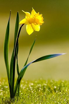 I love the beautiful spring colour and elegance of this flower. Just love a Daff!