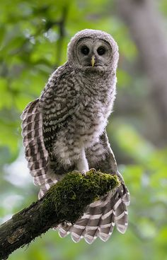 The Pose, by Wes Aslin | Flickr.  Barred owlet