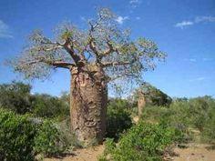 CAUDICIFORM Adansonia rubrostipa