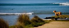 A dog waits for its master to finish surfing.