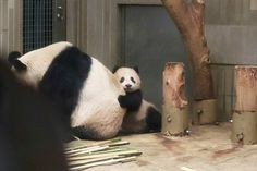 @allfor.anima - Instagram:「* 201802 ⑤ #上野動物園 #シンシン #シャンシャン」 Panda Love, Cute Panda, Red Panda, Nature Animals, Animals And Pets, Baby Animals, Panda Babies, Baby Pandas, Giant Pandas