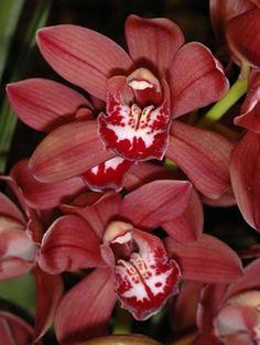 burgundy cymbidium orchids
