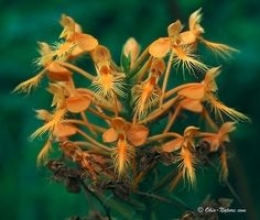 Northwest Ohio Rare Plants:  Orange (Yellow) Fringed Orchid can be found in KittyTodd Nature Preserve  (It's a WOW in person!)