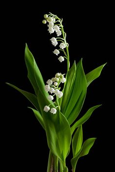 60 Top Lily Of The Valley Pictures, Photos, & Images - Getty Images Flowers Nature, Fresh Flowers, Spring Flowers, White Flowers, Beautiful Flowers, Flowers Black Background, Flower Prints, Flower Art, Lily Of The Valley Flowers