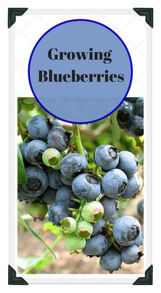 Learn all about growing blueberries; from  preparing the soil, to proper spacing! Use our free online Vegetable Garden Planner, zone chart, planting guide, and worksheets to plan a garden that works for you!