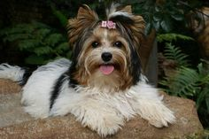 Biewer Terriers | Biewer Terrier Dog Puppies