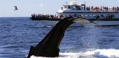 Provincetown Whale Watch — Provincetown whale watches are an adventure you will talk about for the rest of your life!
