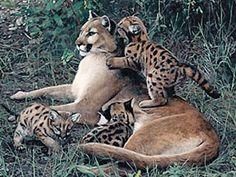 State Animal - Florida Panther