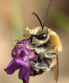 """Mâde de l'Anthophoride Eucera sp. transportant des pollinies d'""""Orchis bouffon"""" Orchis morio (photos A.Cipière)"""
