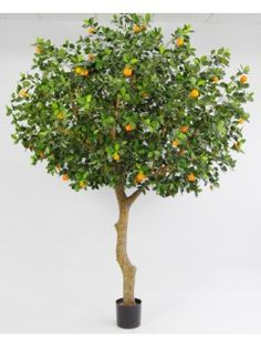 Appelsiinipuu 260cm