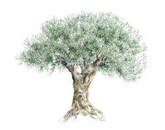 oliviers  | Olivier de Draguignan - Sylvie F-Bertin