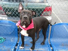 SAFE 8/30/13 Brooklyn CUPID A0976026 Male black pit mix 6mos He allows all handling & petting & scored awesome labels bright alert & responsive B/c he was a little selfish w/ his food & didn't like the plastic hand he's labeled New Hope only The ACC has decided they are thru w/ Cupid & have him on the kill list tonite Cupid is counting on someone to take a chance on him he isn't exempt from getting killed b/c he's a puppy PLS share him for a foster/adopter contact a New Hope Partner.