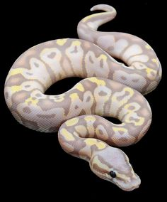 Banana Super Pastel Ball Python