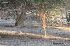 Desert Gazelle at Ananantara Sir Bani Yas Island