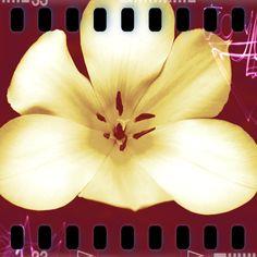Tulip, Pixlr, 2011