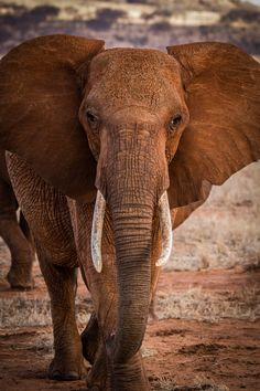 elephant  in Tsavo, Kenya                                                                                                                                                                                 More