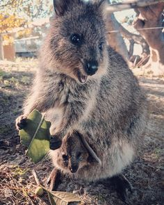 ~ Quokka and baby (peeking out of mama's pouch)