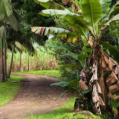 The sweet smell of banana blossom and sugarcane fills the air... #novofogo #organic #cachaça #morretes #brazil #brasil #zerowaste #sustainability #rainforest #banana #tropical Re-post by Hold With Hope