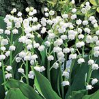 """Lily-of-the-Valley Product Information: Light: Full to partial shade Height: 6-10"""" Deer Resistant Bloom Time: Mid to late spring Size: Bareroot Zones: 2 to 8"""