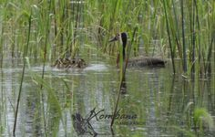 Photo of the Day : TOUCH this image: White-faced Whistling Duck Hatchlings @ Xombana dam by Xombana