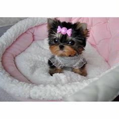 Someday I will have this puppy. Her name will be Mavis