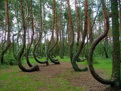 """And In Poland there is """"Crooked Forest,"""" where you know shit has gone down: 